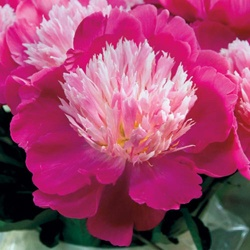 Party Time Peony. Michigan perennial flower.