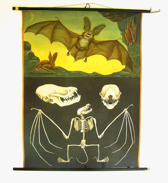 Vintage supply - Antique Bat Pull Down Chart - Biology Poster - Bat Poster - Original Jung Koch Quentell