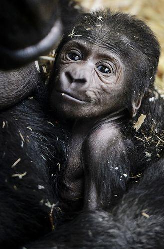 Après huit mois et demi de gestation, le petit de Sindy est arrivé au zoo d'Amsterdam. Le bébé gorille est né jeudi dernier, le 21 janvier, et a pu être vu par les photographes dès le lendemain. Il s'agit du cinquième petit pour la femelle gorille: ses deux premiers sont décédés et les deux autres, deux mâles, vivent toujours dans le zoo de la capitale néerlandaise.