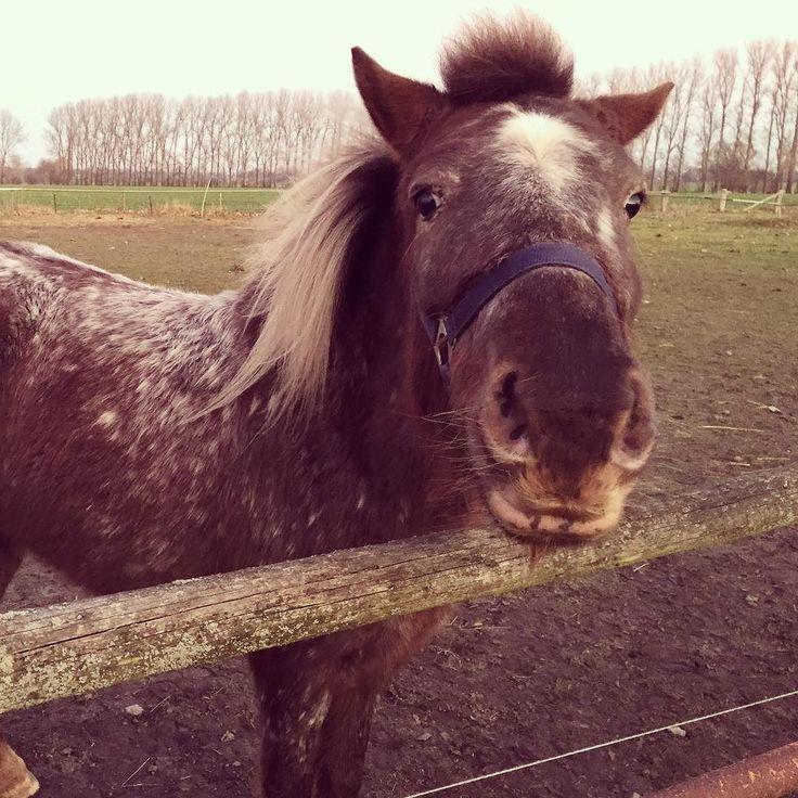 Blume #Pony #lewitzerpony #lewitzer #pferd #shetlandpony #lieblingspferd #kleinespferd #meineblume #herdenhaltung