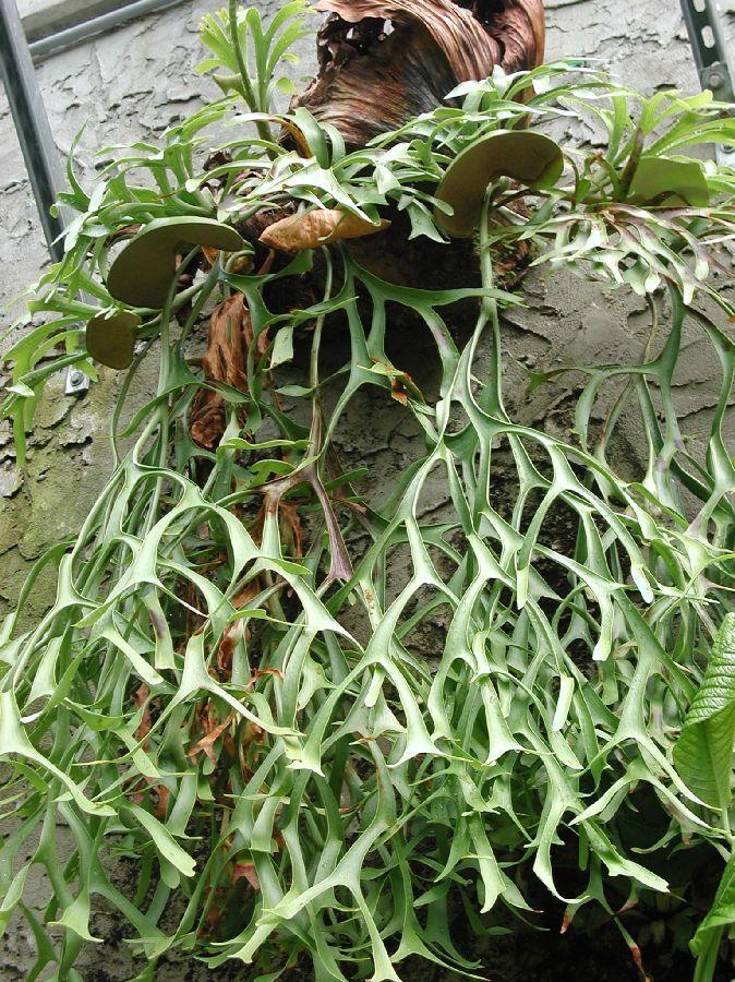 Polypodiaceae Platycerium  coronarium     *Common name,  Stag horn  fern
