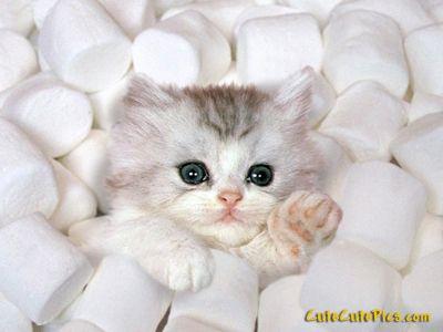 I love Kittys!!!: Marshmallows Kittens, Marshmallows Kitty, So Cute, Pet, Funnies, Persian Cats, Things, Cute Kittens, Adorable Animal