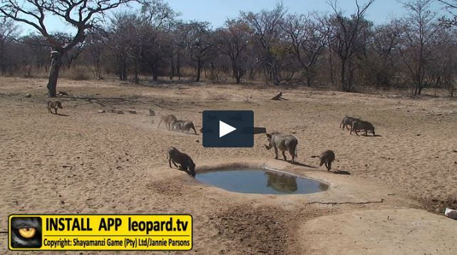 End your Friday with warthogs picking fights! #leopardtv #nature #africa