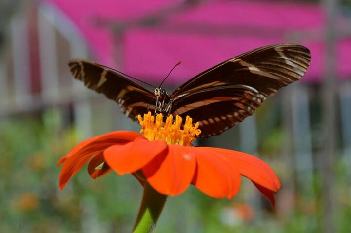 103 Best Images About Florida Butterflies In My Garden On