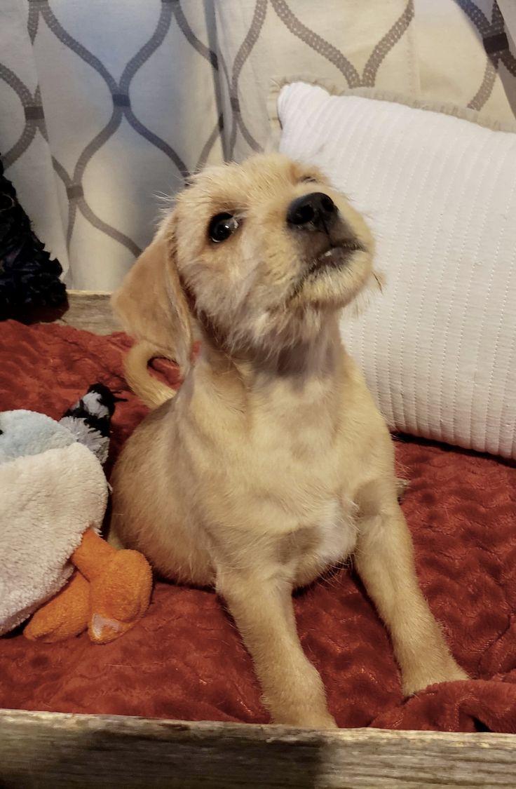 Adopt kevin on petfinder dog cat pets australian