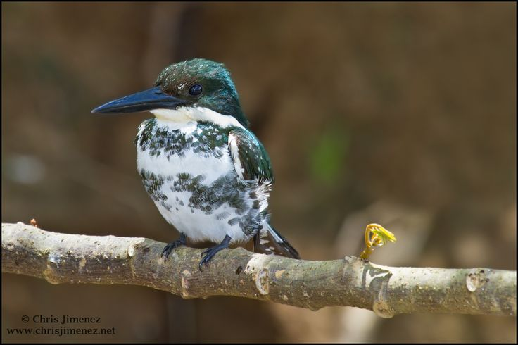 Green Kingfisher | by Chris Jimenez Nature Photo