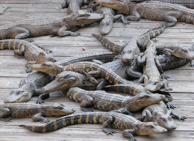 GENERALIZATION: Based on this photograph, what generalizations can  you make about young alligators?