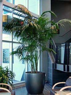 Kentia Palm for Living Room