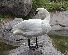 Trumpeter Swans are found in the northern tier of the United States and Canada.  They prefer calm waters of lakes and slow moving rivers.