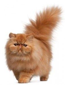 Gatos  embras persas 1