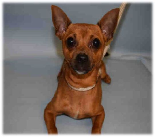 SUPER URGENT ***PELVIC FRACTURE** KUBO – A1091267  MALE, BROWN, CHIHUAHUA SH MIX, 4 yrs STRAY