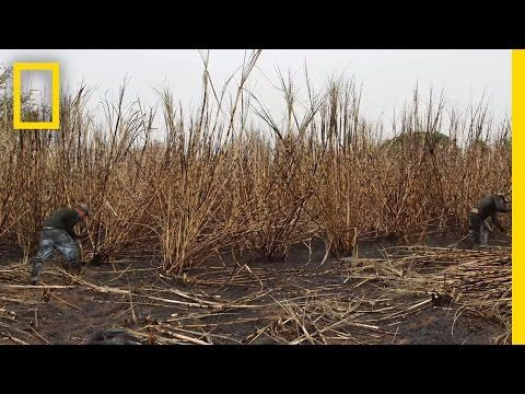 The Human Cost of Sugar Harvesting | National Geographic - YouTube