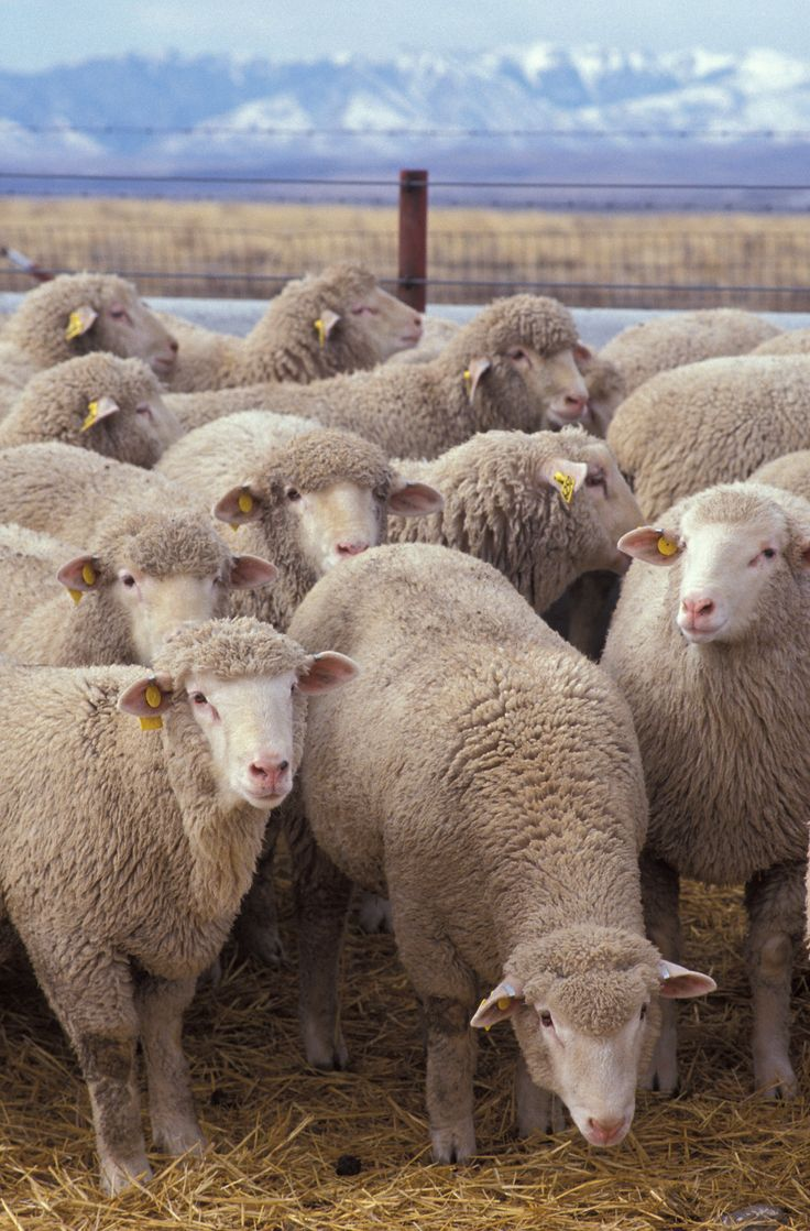 columbia sheep images - Google Search