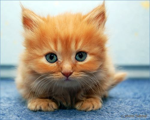 kitten kitten kitten: Kitty Cat, Orange Cat, Pet, Blue Eye, Gingers Cat, Orange Kittens, Persian Cat, Cute Kittens, Animal