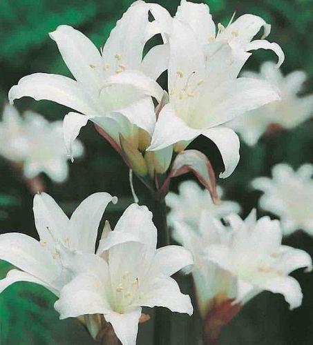 White-Amaryllis-Belladonna-Bare-Root-Naked-Lady-Bulb