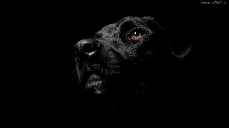 Czarny, Pies, Labrador Retriever