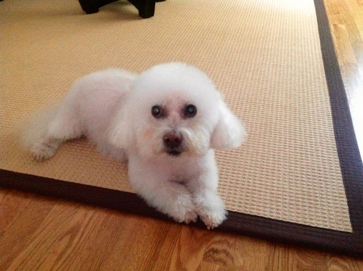 My wonderful, beautiful Bichon of 13 yrs, Tyler, adopted through small dog rescue, sosdogs.org