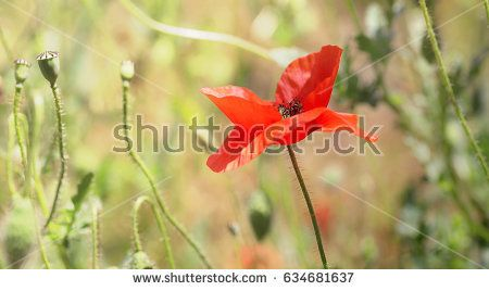 single wild poppy in a meadow