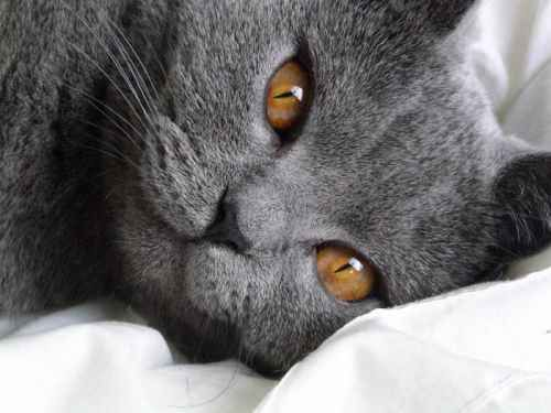 chat chartreux yeux dores