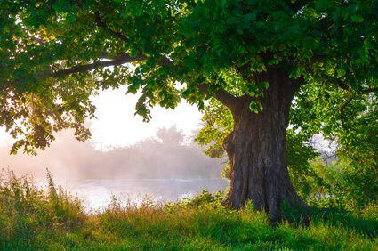 Eiche - Das keltische Baumhoroskop 21.03. Die Eiche mit ihrem mächtigen Stamm und ihren wundervoll gerandeten Blättern und den schönen Früchten, der Eichel, ist ein großes Kunstwerk der Natur.