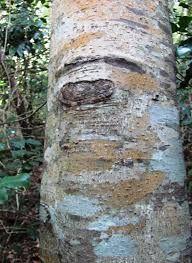 Ocotea bullata - Stinkwood