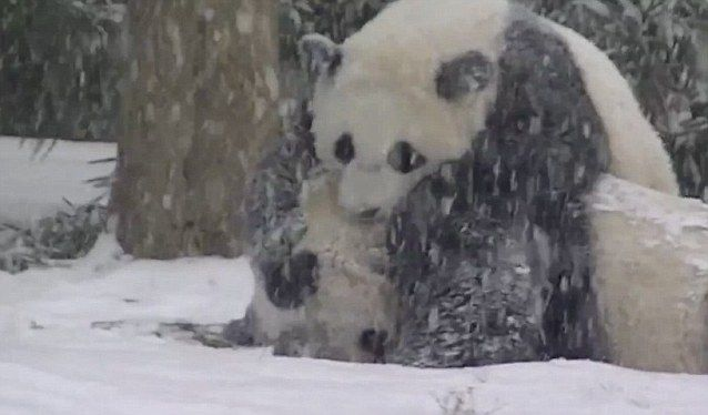 National Zoo's baby panda frolics in snow as storm pummels 22 states | Daily Mail Online
