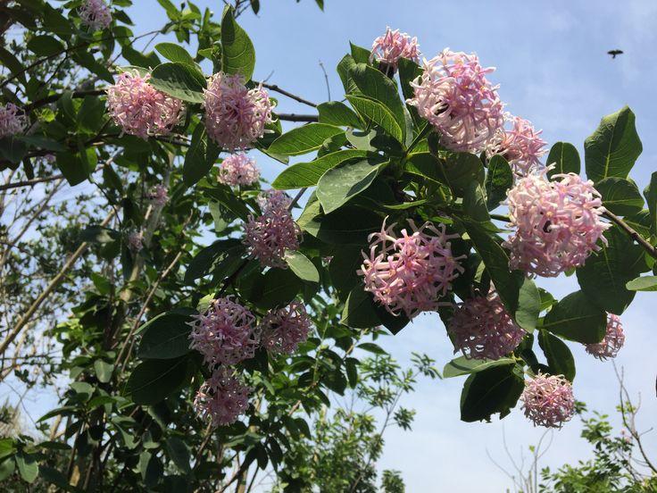 Dais cotinifolia (Pom-Pom tree / Pincushion tree / African button flower)