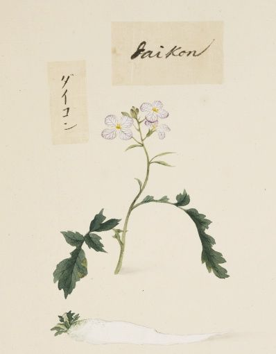 Kawahara Keiga - Daikon Radish, Picture Book Vol.2 'Botanical Art'