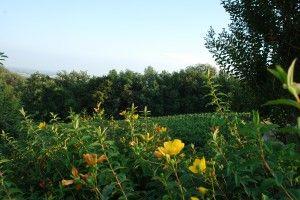 Our vineyard Cima Caprioli #franciacorta #wine #vino