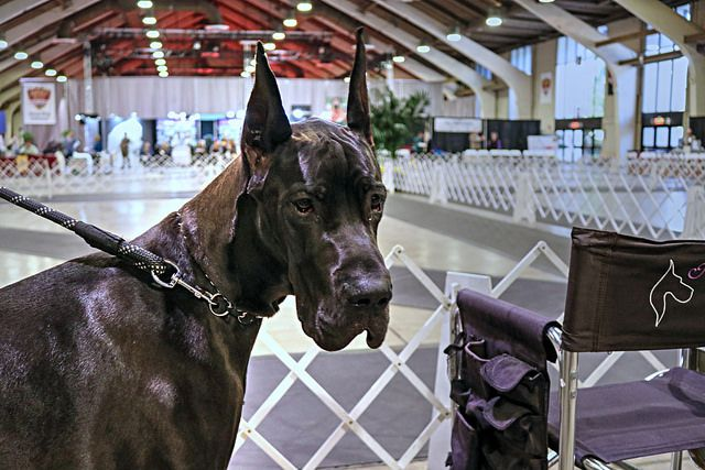 Is Your Great Dane Driving You Crazy Eliminate Over 30 Common