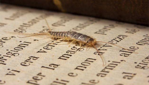 Come combattere i #parassiti della carta http://www.comefaremania.it/combattere-i-parassiti-della-carta/ #comefare #rimedinaturali