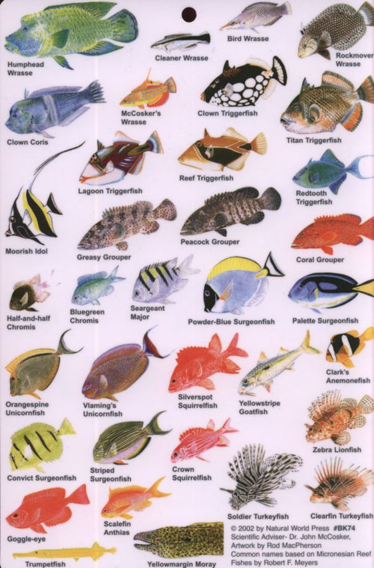 Indian ocean fish guide to reef fish of the indian ocean for Types of fish in the gulf of mexico