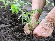 Что положить в лунку при посадке томатов?