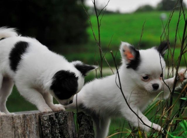 Have You Been Thinking About Adopting A Chihuahua This Is Your