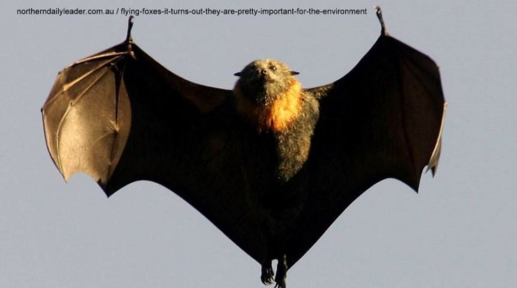 #Megabat #flyingfox #fruitbat it turns out they are pretty important for the environment http://www.batsrule.info/2017/03/flying-foxes-it-turns-out-they-are.html #batsrule #infoonbats #bats #batissues
