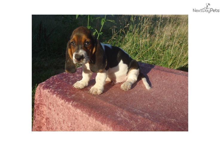 Abner: Basset Hound puppy for sale near Kansas City, Missouri   70f6345d-b5b1