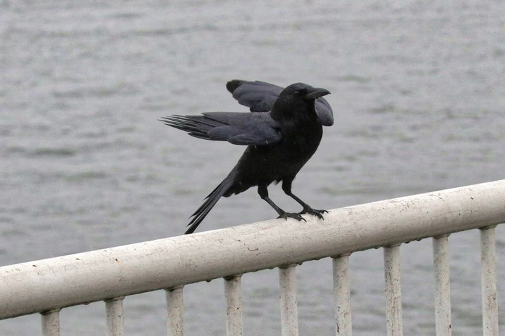 Crow lands on railing. Click image to enlarge.