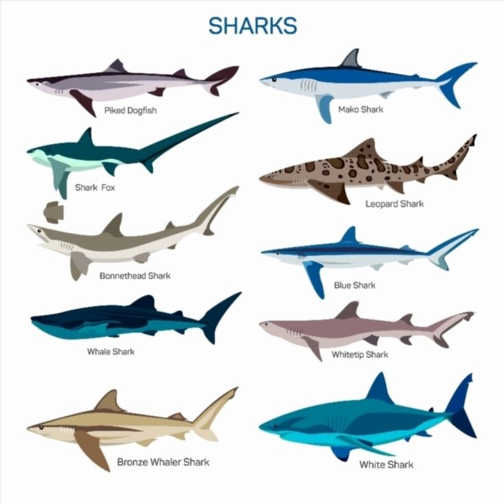Shark fish vector set in flat style design different kind for All fish names