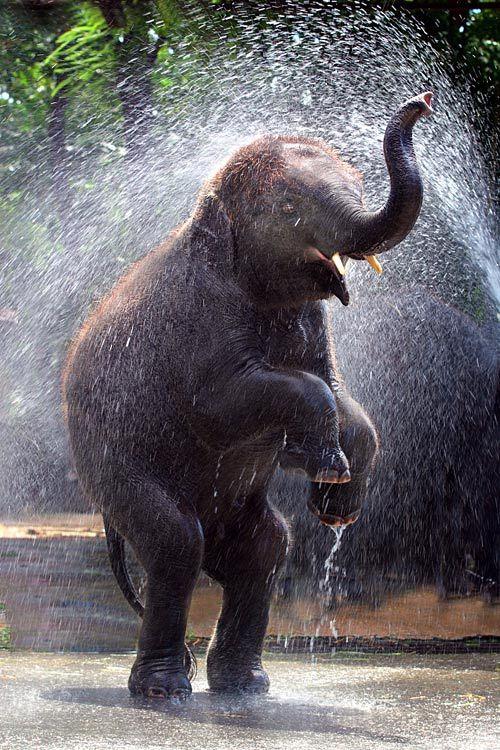 Asian Elephant - photography