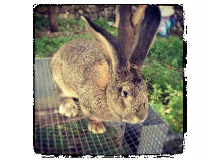 Coniglio gigante di Fiandra - Noto (Sr)