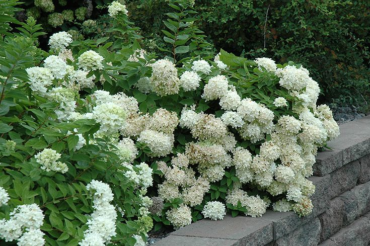 Click to view full-size photo of Pee Gee Hydrangea (Hydrangea paniculata 'Grandiflora') at Oakland Nurseries Inc