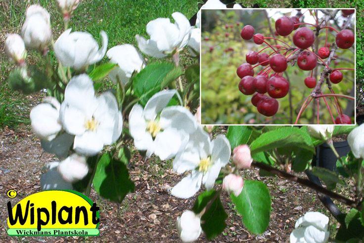Malus 'Baccata', Prydnadsäppel. Vita blommor, fina frukter. Höjd: 4-8 m.