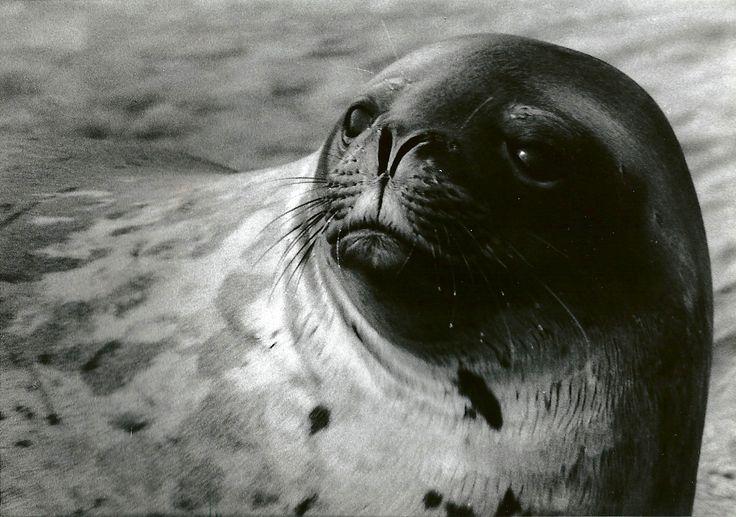 seal - antarctic
