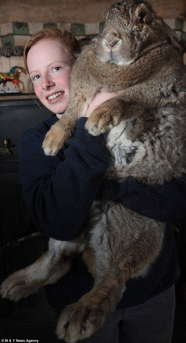 King rabbit: Cindy Winson, 17, struggles to hold her record-breaking monster rabbit Ralph with his huge Hobbit-like feet. He is believed to be the biggest bunny in the country