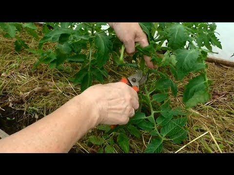 Как сформировать и подвязать куст томата в открытом грунте с укрытием