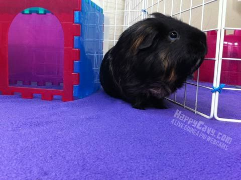 A Detailed Guide on How to Host Floor Time for Your Guinea Pig
