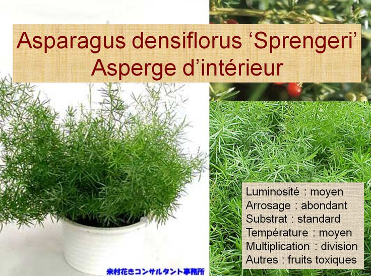 1000 images about tudes plantes d 39 int rieurs on for Asperge plante interieur