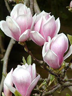 Plantas a Diario: Magnolia japonesa- Nombre científico: Magnolia soulangeana Familia: Magnolaceae Origen: China, Japón, Corea  Otros nombres España: Arbol lirio, Magnolio chino Brasil: Magnolia roxa Italia: Magnolia alexandrina USA: Tulip tree, Saucer magnolia