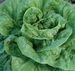 """Winter Density Lettuce. Bred in England. Large dark green curled leaves form upright 8-10"""" heads. Sweet, crisp, and succulent. Slow to bolt in summer heat yet also cold tolerant."""