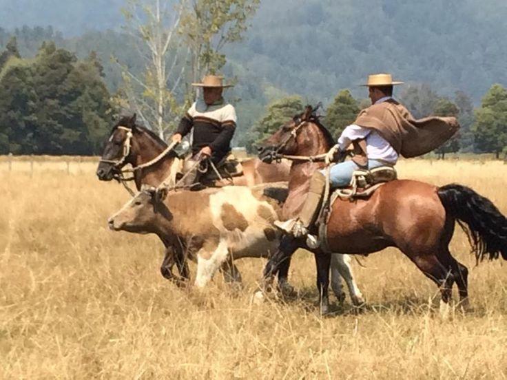 Chilean horse purebred caballos en faena